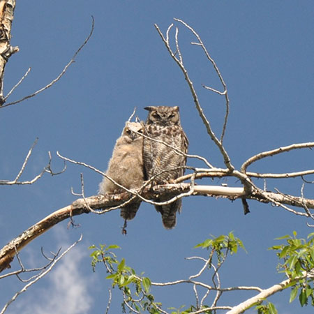 Mt. Elbert Lodge Owls